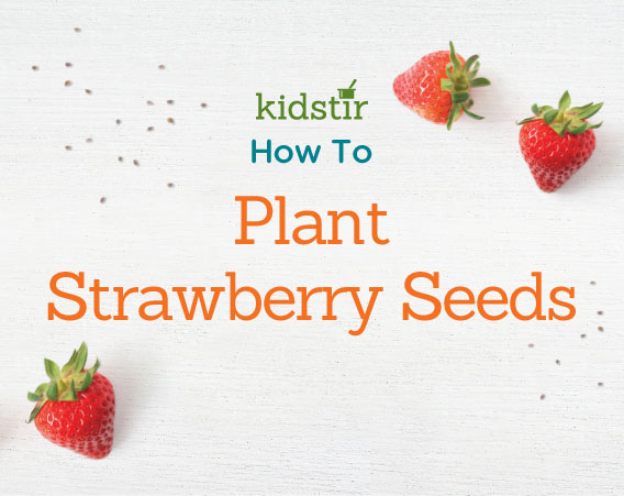 Planting strawberry seeds